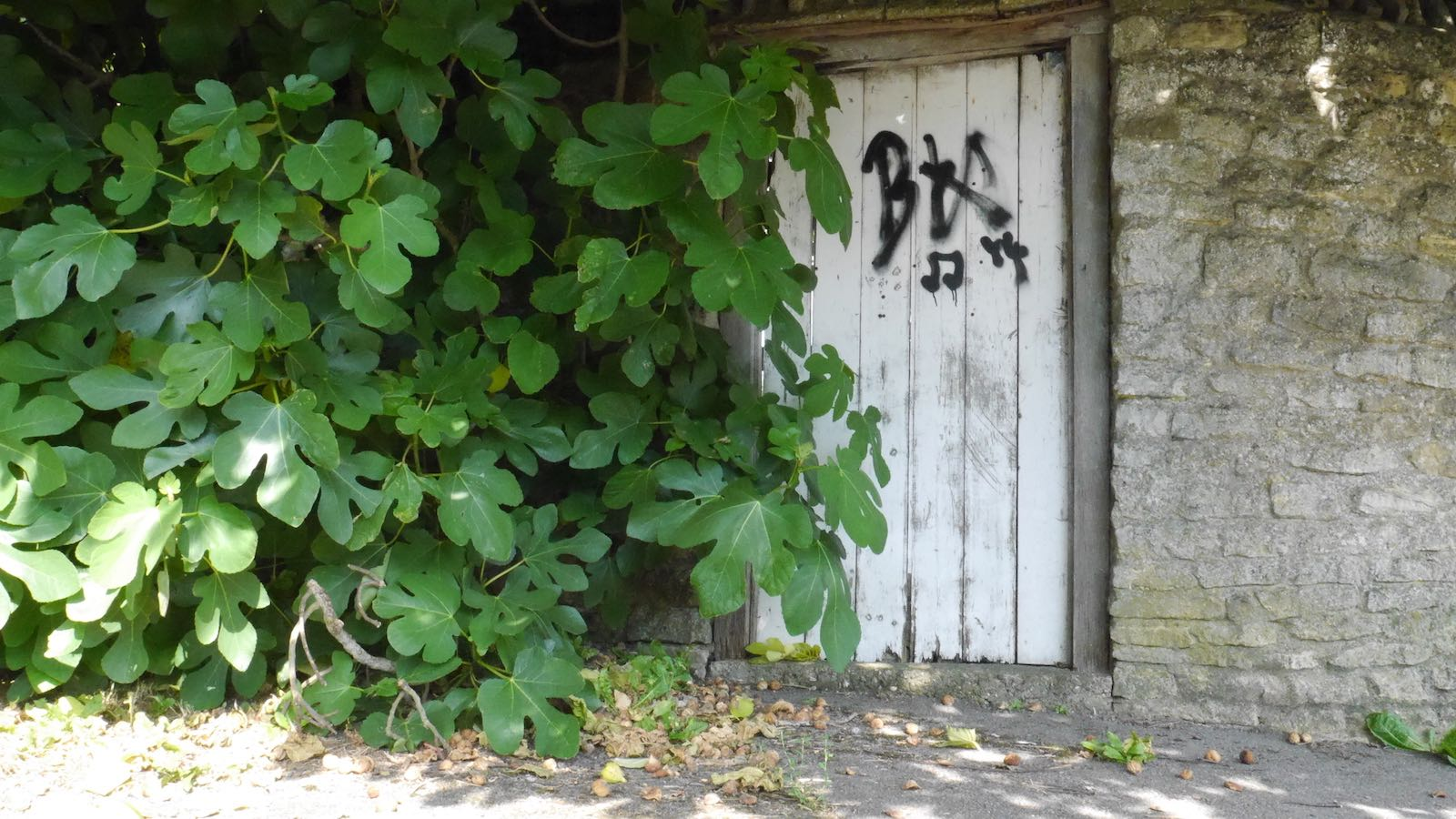 Fig tree overhanging garden wall with white gate that has graffiti on it